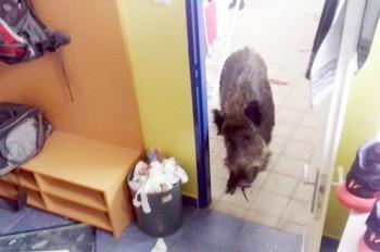 В Чехии кабан вломился в здание школы