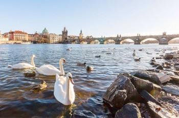 Жителей и гостей Праги призвали не кормить лебедей хлебом