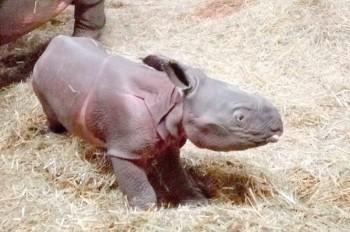 В чешском зоопарке родился редкий носорог