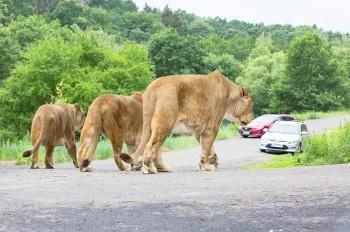 Единственное в Чехии сафари со львами вновь открылось для посетителей