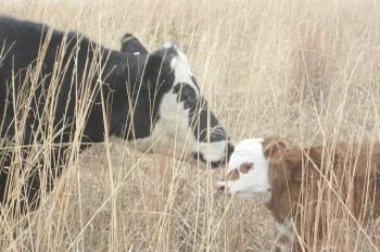 В Чехии корова утопила теленка