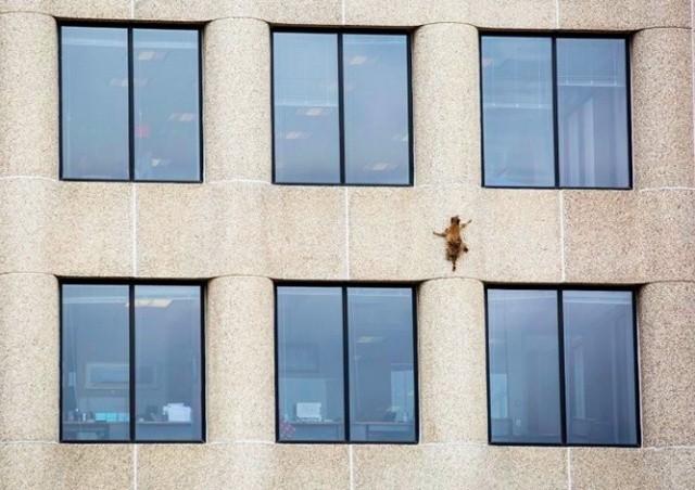 Взбиравшийся по небоскребу енот заставил переживать миллионы зрителей