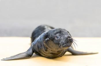В пражском зоопарке родился морской котик