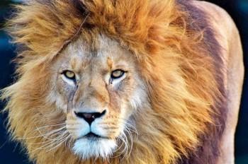 В Чехии из зоопарка сбежали два тигра и лев