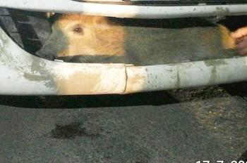 В Чехии водитель обнаружил в бампере кабана