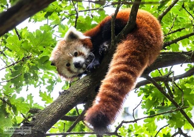 Как в Чехии ловили сбежавшую из зоопарка красную панду: фото